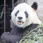 Urs panda muscat de un betiv