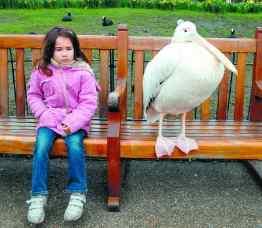 Pelicanul prietenos din centrul Londrei